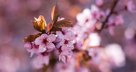Soft Image of Pink Spring Cherry Blossoms