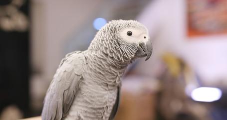African grey parrot at indoor