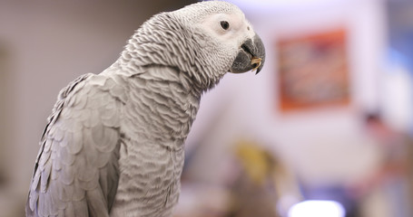 African grey parrot eating sunflower seed
