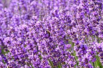 Garden Poster Lavender Fleurs de lavande sur le champ. Une abeille sur les fleurs.