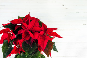 Christmas card with poinsettia flower, christmas decoration on white background