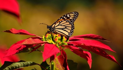 Beautiful monarch butterfly on colorful christmas flowers