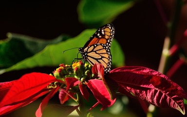 Splendid monarch butterfly on colorful poinsettia, christmas flower