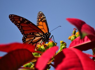 Monarch butterfly in foreground, poinsettia and blue sky background