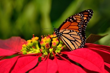 Wonderful monarch butterfly and poinsettia of vivid colors, christmas flower