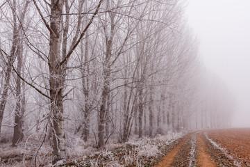 Bosque de chopos en invierno con escarcha, camino y niebla al fondo. Populus.