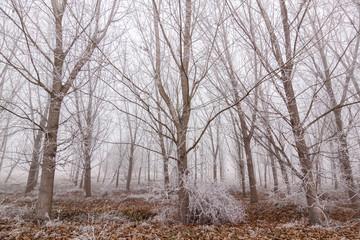 Bosque de chopos en invierno con escarcha y niebla al fondo. Populus.
