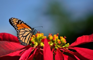 Fascinating monarch butterfly and poinsettia in full splendor, christmas flower