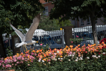 seagull by the fountain in a rose garden