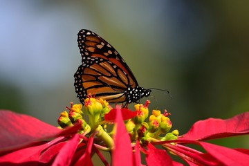 Monarch butterfly on poinsettia, Danaus plexippus and Euphorbia pulcherrima