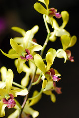 yellow orchid flower on black background