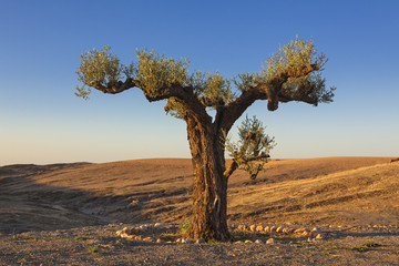 Olive tree in the desert, Morocco