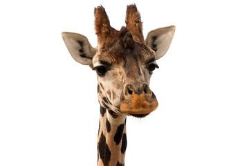Giraffe portrait isolated on white