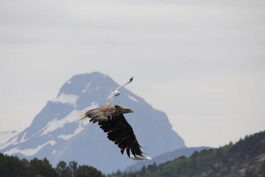 Norwegen, Norway, Seeadler, Sea Eagle, Lofoten