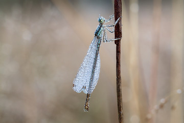 dragonfly with dew drops on a summer meadow macro