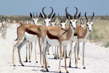 Gruppe von Springböcken.Where: Etosha-Nationalpark.