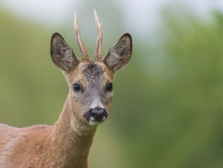 Wall Mural - deer male face