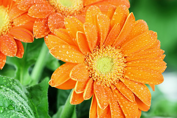 Abstract of an orange gerber daisy macro with water droplets on the petals. Extreme shallow depth of field with selective focus on center.