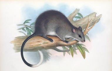 Hopping mouse
