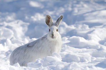 Snowshoe hare (Lepus americanus) isolated against a white background in winter in Canada