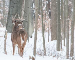 Wall Mural - Whitetail Deer Buck In Snow