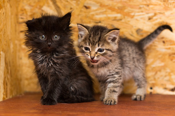 Two small mongrel kittens, gray and black