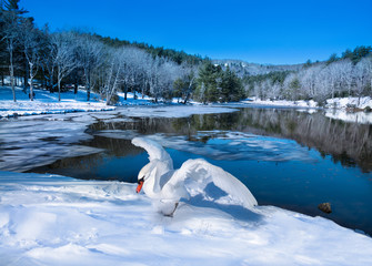 Beautiful bird spreading wings on the snow by the lake in frosted forest. Winter scenery.  Bass Lake, Blowing Rock, close to Blue Ridge Parkway, North Carolina, US
