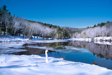 Winter scenery. Beautiful swan  relaxing on the snow by the lake in frosted forest.