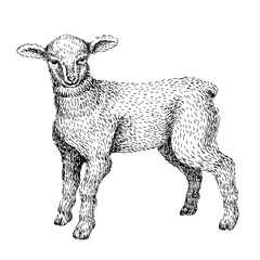 Baby farm animal. Domestic. Little cute baby lamb. Vintage style. Vector illustration. Hand drawn sketch line art image. BLack and white.