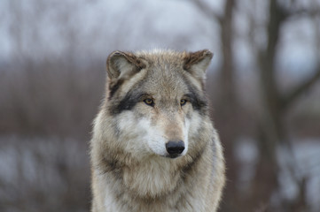 wolf head close up