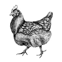 Chicken. Hand drawn illustration of beautiful black and white animal. Line art drawing in vintage style. Funny image.