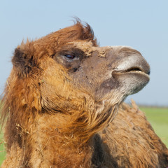 Portrait big and sad camel with a drop of tears in his eye turned out from you