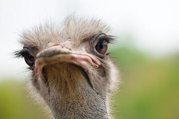 Ostrich portrait close-up. Sharpen on eyes