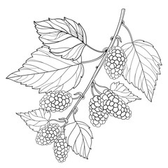 Vector branch with outline Mulberry or Morus with ripe berry and leaves in black isolated on white background. Drawing of Mulberry bunch in contour style for summer design and coloring book.