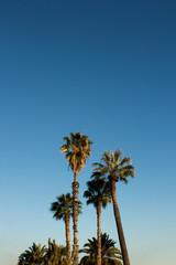 Vintge Palm Trees Vintage - clear summer skies