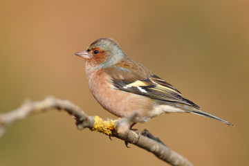 Portrait of a chaffinch perfhed on a branch