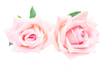 Pair of fresh pink blooming rose flowers buds with green leaves isolated on white background