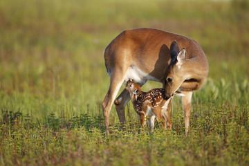 White-tailed Deer Nursing