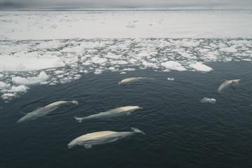 Beluga Whales in ice lead, Beaufort Sea, Alaska, USA
