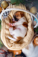 Puppy Jack Russell Terrier sleeping on a knit white blanket in basket at new year interior top view