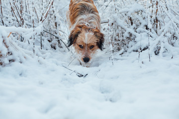 Hunting dog searches the ground in a snow frozen grass
