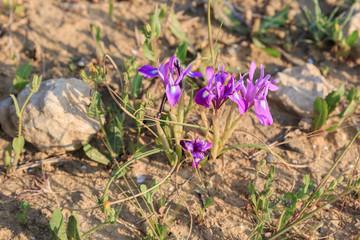 Beautiful wild purple iris flower