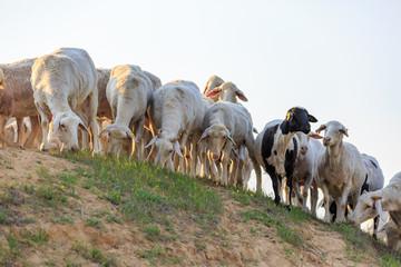 Big herd of sheep