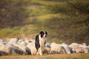 One border collie