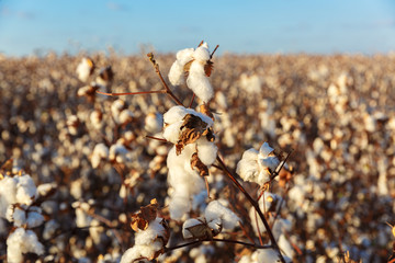 Big cotton buds on bush