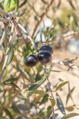 Three ripe olives