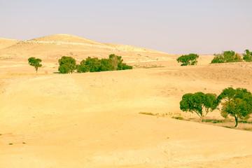 Evergreen trees in desert