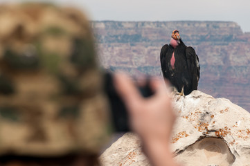 Photographing a Condor at the Grand Canyon