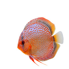 Spotted orange with blue discus fish isolated on white background