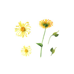 the Arnica flower. Handmade watercolor painting illustration on a white background, isolated work path